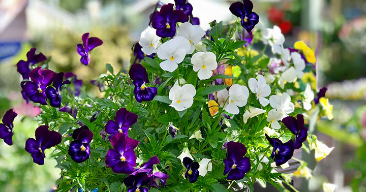 Pansies for sale Doncaster East