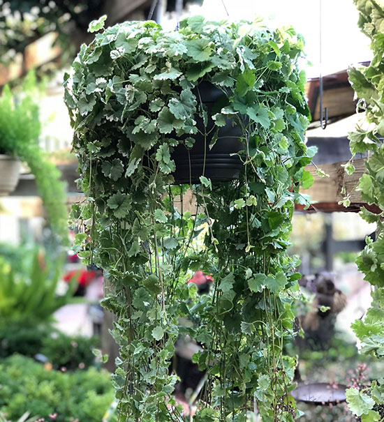 Hanging Plants for sale
